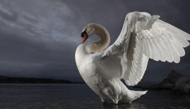 337523-swan