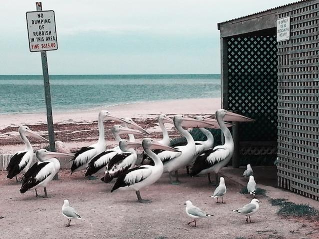 pelican-party