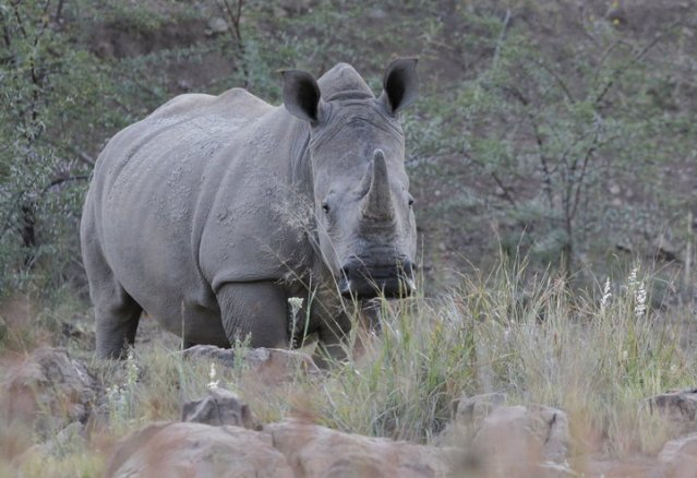 A White Rhino walks in the dusk light in Pilanesberg National Park