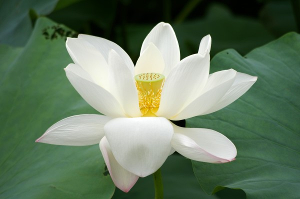 lotus-flower-high-resolution-wallpapers-cool-desktop-background-pictures-widescreen