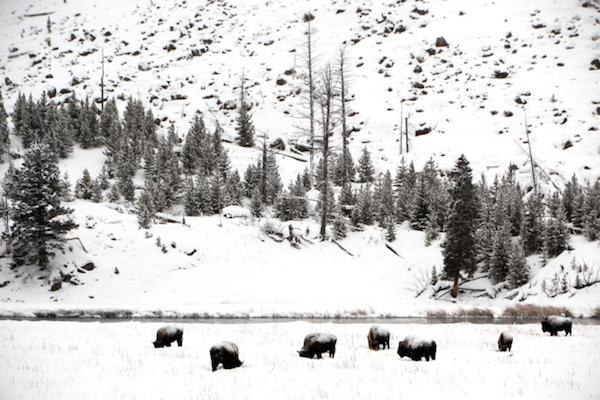yellowstone_bison-konstantin_grishin-thinkstock_image100654343